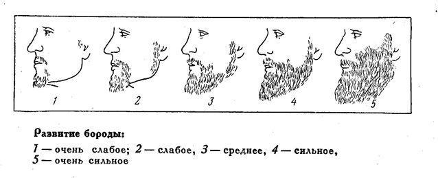 Развитие бороды.JPG